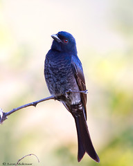 Fork-tailed Drongo (leendert3) Tags: leonmolenaar southafrica krugernationalpark birds nature wildlife forktaileddrongo coth5 ngc npc