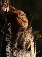 Eastern Screech Owl - Red Form (Eric C. Reuter) Tags: birds bird birding nature wildlife forsythe nwr oceanville brigantine nj january 2018 012718