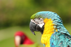 IMG_2412M Parrot. オウム. 金剛鸚鵡. (陳炯垣) Tags: outdoor parrot bird nature