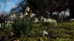 Snowdrops (Nick:Wood) Tags: nature wildlife environment warwickshire nationaltrust baddesleyclinton galanthus grass moss wildflower flower