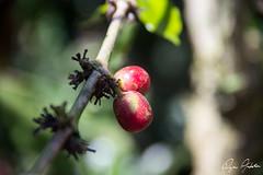 Hacienda Venecia, Colombia (ryananderton) Tags: colombia manizales coffee coffeefarm coffeeregion finca