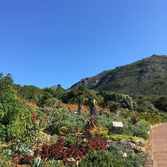 Still pretty in a drought (rjmiller1807) Tags: drought capetown kirstenbosch kirstenboschbotanicalgardens 2017 june plants horticulture gardens iphone iphonese iphonography westerncape southafrica botanicalgardens