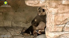 2018_02-13a (gkoo19681) Tags: tiantian dabigguy sohandsome proudpapa fuzzywuzzy feetsies treattime sugarcane soyummy sohappy hiding privacy comfy toocute precious meltinghearts toofers cooldude youngatheart contentment ccncby nationalzoo