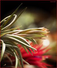 (2689) Tillansia (Air plant) (QuimG) Tags: tillandsias macro natura nature naturaleza flors flowers flores quimg quimgranell joaquimgranell