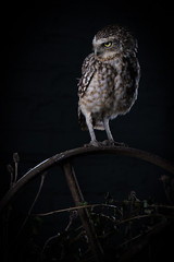 'Chaos' (ToriAndrewsPhotography) Tags: burrowing owl studio portrait imperial bird prey billericay essex photography andrews tori chaos