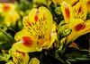 Flowers. (ost_jean) Tags: fleurs bloemen colors bokeh nikon d5200 900 mm f28 ostjean alstroemeria
