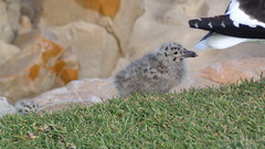 Seagull Chick (Rckr88) Tags: seagull chick seagullchick seagulls bird plettenbergbay southafrica plettenberg bay south africa animal animals baby babies westerncape nature outdoors travel travelling