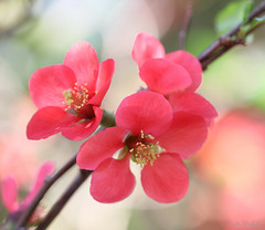 Japonica (WinRuWorld) Tags: blossom bloom flower floweringquince spring ef100mmf28lmacroisusm macro macrophotography canon canonphotography nature naturephotography naturalworld pink petals quince japonica chaenomeles dof depthoffield soft rosaceae botany flora garden outdoors japanesequince