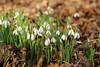 Flowers (LuckyMeyer) Tags: flower fleur makro green white schneeglöcken blume blüte snowdrop garden spring