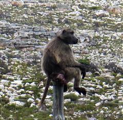 Baboon sitting alone on a fence (Sokleine) Tags: baboons baboins babouins wild sauvage animal capepoint nature parcnaturel park reserve peninsula péninsule capetown lecap southafrica afriquedusud africa afrique clôture fence poteau pole baboon monkey singe primate portrait wildlife