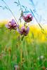 Mountain Flower (magoago82) Tags: canon pesaro regione marche trekking flower giglio 1000d hiking martagone prato flowercolors flowerscolors