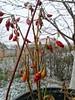 🌶️ (seki_952) Tags: paprika pepper snow flowerpot