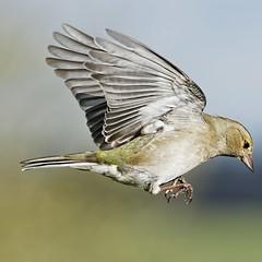 Pinson A6503912_DxO (jackez2010) Tags: ilce6500 fe100400mmf4556gmoss bif birdinflight pinsondesarbres