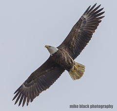 Bald Eagle in flight (Mike Black photography) Tags: bald eagle nest nesting pair bird nature birding new jersey shore canon 5ds 800mm sky black white blue trees feathers raptors is usm lens body