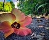 hana (nikuman) Tags: hana hibiscus flower okinawa nature colors island nago shima