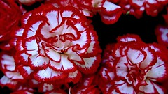 Red and White Carnations (Terry Kearney) Tags: dianthuscaryophyllus carnation floral flowers petals macro depthoffield redandwhite colour canoneos1dmarkiv daylight day explore europe england flickr gardens kearney nature oneterry outdoor terrykearney trees wirral 2018 liverpool merseyside