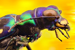 Tiger Beetle (SequentialMacro) Tags: tiger beetle insect nature wildlife stack photography museum liverpool amazing eyes colours bug frank prior zerene stacker photoshop focus stacking micro small