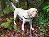 Gracie in the wet woods (walneylad) Tags: gracie dog canine pet puppy cute lab labrador labradorretriever january winter morning westlynn