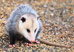 Virginia opossum at Lake Meyer Park IA 854A5908 (lreis_naturalist) Tags: virginia opossum lake meyer park winneshiek county iowa larry reis