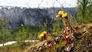Coltsfoot and the mountains