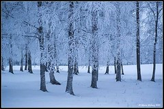 Birches (mmoborg) Tags: mmoborg birch winter snow frost trees