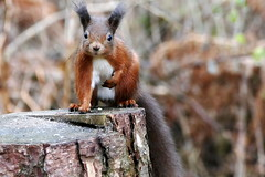 Red Squirrel (eric robb niven) Tags: ericrobbniven scotland redsquirrel wild life nature dundee springwatch
