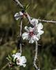 Flor de almendro (ibzsierra) Tags: ibiza eivissa baleares canon 7d 70200f4isusm flor flower fleur almendro almond naturaleza