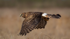 Just Passing By! (E_Rick1502) Tags: northern harrier