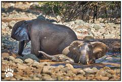 African Elephants 021216-9930-W.jpg (RobsWildlife.com © TheVestGuy.com) Tags: fineart robswildlifecom wildlifetours robswildlife elefantes 2016 ©robswildlifecom elephant 021216 elephants africa animalprints safari nature professional africansafari robdaugherty wildlifeprints tanzania africantours wild outdoors canon epicwildlifeadventures wildlifephotographer photography wildanimals wildlifeart thevestguycom lakemanyara animalart 8016989080