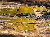 Hawfinch (ejwwest) Tags: birds hampshire coccothraustes romsey wildlife mercer way finch hawfinch england united kingdom gb food bird soil animal macro grass