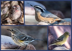 Backyard Birds (Kerstin Winters Photography) Tags: yellowrumpedwarbler albuquerque newmexico nuthatches finch natur naturephotography naturfotografie nature outdoor collage sigma nikondigital nikon nikondsl flickrnature flickr vögel backyardbirds