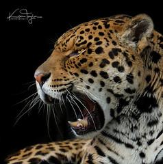 Chincha (yadrad) Tags: jaguar dzp dartmoorzoo dartmoorzoologicalpark chincha animal carnivore bigcats sparkwell ngc wildlife