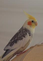 2013_02_0001 (petermit2) Tags: cockatiel pet bird