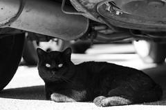 cat eyes (stefanobosia) Tags: cat blackandwhite black clackcat 50mm eos1300d canon