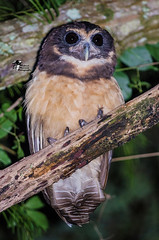 Murucututu-de-barriga-amarela // Tawny-browed Owl (Pulsatrix koeniswaldiana) (Rafael Martos Martins) Tags: watching outdoors beak looking tree animal bird owl raptor birdofprey nature wildlife brazil travel cute pretty nice beautiful amazing color portrait wild background isolated biodiversity endemic tropical hunter life nocturnal atlanticforest rainforest forest strigiformes perched carnivore closeup eye feathers avian branch predator owlisolated pulsatrix