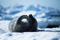 The Thinker - 思想者 (Sniper1999) Tags: weddleseal seal antarctica glaciers ice blue 6d eos canon is f4l 300mm ef
