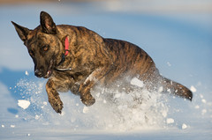 Chief (Brad Mellema) Tags: dog dutch fetch snow shepherd pet