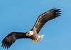 L&D14 Female Bald Eagle (114berg) Tags: 25jan18 ld14 mississippi river gulls pelicans bald eagles leclaire iowa