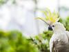 Sulphur Crested Cockatoo (markdmurray) Tags: australia sydney tarongazoo zoo bird cockatoo galah sulphur crested