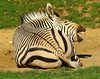 Hartmann's Zebra (Equus zebra hartmannae) (Colin Pinchen) Tags: hartmannszebra equuszebrahartmannae mountain zebra stripes black white horse equine mammal africa marwell colin pinchen