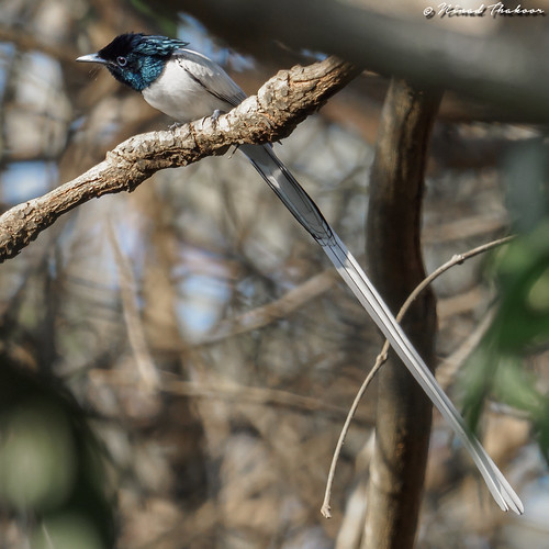 """Indian Paradise-Flycatcher • <a style=""""font-size:0.8em;"""" href=""""http://www.flickr.com/photos/59465790@N04/39288901925/"""" target=""""_blank"""">View on Flickr</a>"""