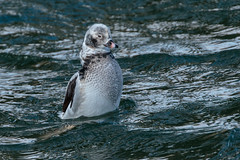 Long-tailed duck. (ricmcarthur) Tags: ducklomngtailed clangulahyemalis ricmcarthur rickmcarthur rondeauric