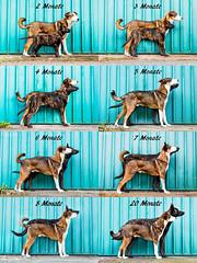 2 - 20 Months (Maria Zielonka) Tags: schäferhund schäferhundmix shepherd shepherddog germanshepherdmix germanshepherd holländischerschäferhund hollandseherdershond herder dutch dutchie puppy welpe dogphotography hundefotografie hund haustier hamburg tierfotografie mariazielonkafotografie canon