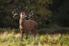 cerf-0045 (philph0t0) Tags: cervuselaphus cerfélaphe cervus elaphus cerf élaphe reddeer red deer stag rut brame animal mamal mammifère animaux