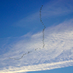 Bird passing by on Thursday morning (CloudBuster) Tags: goose geese nature birds passage trekvogels lucht sky air sunrise zonsopkomst cloud white wit wolk