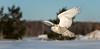 En Vol (martinmenard757) Tags: harfang snowy owl matin menard bird hiver winter quebec
