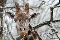 Schneeflöckchen (grasso.gino) Tags: tiere animals natur nature zoo dortmund nikon d5200 giraffe schnee snow hoch high gros big