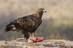 Golden Eagle ( wild ) (markmolloy) Tags: ngc eagle goldeneagle bird birdofprey wild nature animal aquilachrysaetos