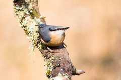 More birds on sticks - Nuthatch (daveashaw) Tags: nuthatch bird blashfordlakes wiltshire tamron nikon gardenbird woodland