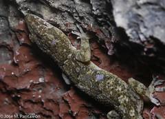 9-El MUNDO MACRO DEL CIMARRON MAYOR EN ISLA BEATA! UNA DE LAS AVENTURAS MAS ESPECTACULARES DE MI VIDA! (Cimarrón Mayor 14,000.000. VISITAS GRACIAS) Tags: reinoanimalia filochordata clasesauropsida ordensquamata subordenlacertilia familiagekkonidae génerohemidactylus geckocaserotropical especiehemidactylusmabouia nombreeninglestropicalhousegecko afroamericanhousegecko cosmopolitanhousegecko lugardecapturaislabeata islabeata republicadominicana dominicanrepublic cimarrónmayor panta pantaleón josémiguelpantaleón macro 7dmarkii canoneos canoneos7dmarkii naturaleza libertad libertee libre free fauna dominicano républiquedominicaine repubblicadominicana dominikanischerepublik dóminískalýðveldið dominikanskerepublik